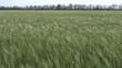 Windy barley field