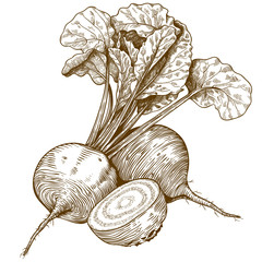 engraving illustration of beet