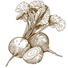 engraving illustration of beet
