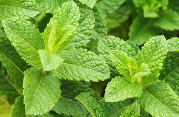 Sprigs of fresh mint in the garden