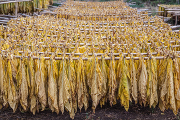Tobacco hanging to dry