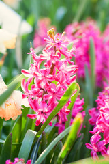 Bright colorful pink hyacinths