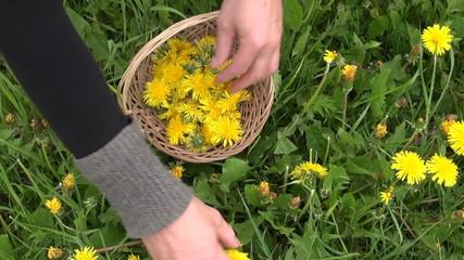 pick fresh spring dandelion flower  for healthy food