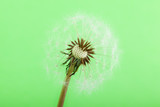 half blown Dandelion - 65240225