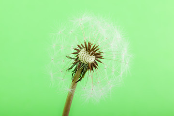 half blown Dandelion