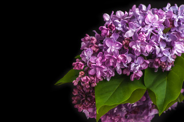 Lilac flowers on  black background