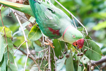 Rose-ringed Parakeet bird.