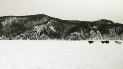 Sled Dog Moves across the Winter Landscape