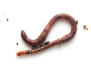 worm on a white background