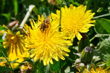 bee gathering pollen from dandelion flower