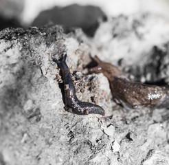 snail in nature. macro