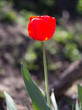 red tulip on nature