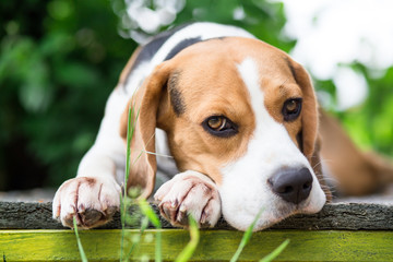 Beagle dog in garden looking into the camera