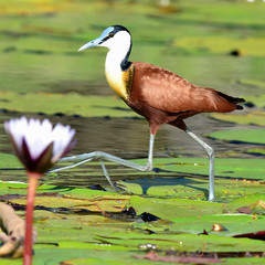 African Jacana (Actophilornis africanus) walking across a lily