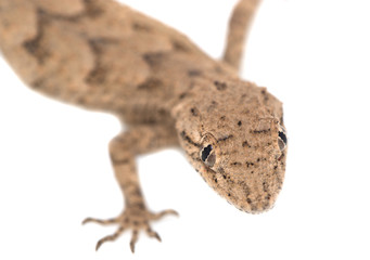 lizard on a white background. macro