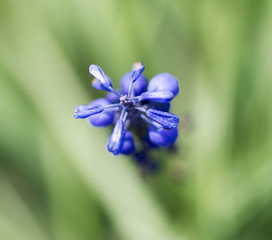 blue flower on nature. macro