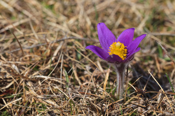pasqueflower (pulsatilla vulgaris)