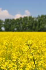 Detail of yellow canola with blurred trees and blue sky