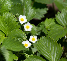 strawberry flowers in nature