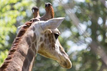 giraffe's head