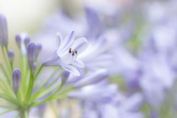 Mauve agapanthus flowers in garden