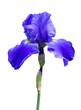 irises flowers