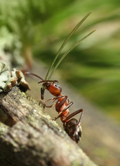 Hard-working red ant