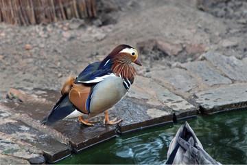 Pato mandarín, Pinofranqueado, Hurdes