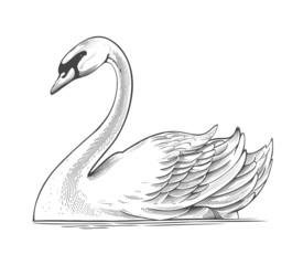 Swan in engraving style