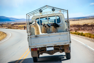 Three lamas with traditional ear tags ride in a truck