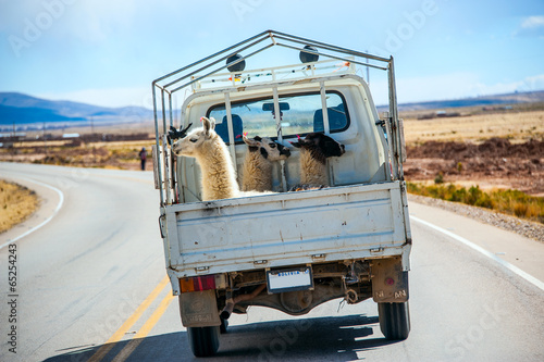 Three lamas with traditional ear tags ride in a truck - 65254243