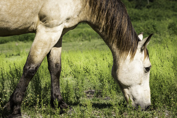 Horse Standing Chewing On Grass