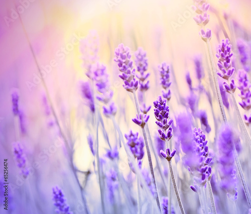 Foto op Plexiglas Lavendel Lavender lit by sun rays