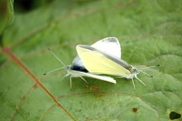 紋白蝶の交尾