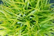 Grassy Plant
