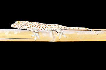 gecko (Gekkonidae)