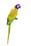 Yellow Macaw aviary poster