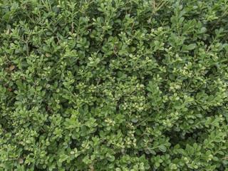 Textura de arbusto. Detalle de hojas.