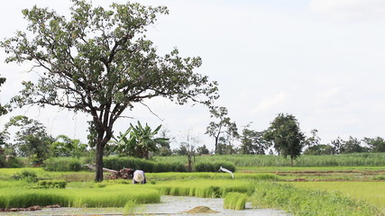 Green rice farm in Thailand