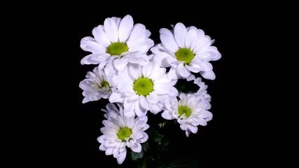Daisy opening