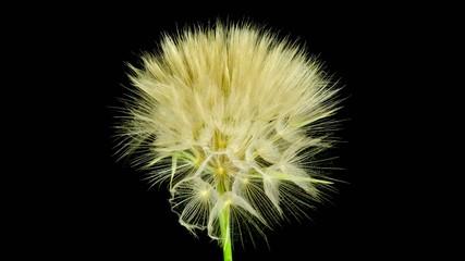 Dandelion flower opening