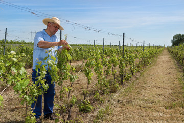 Man working in the vineyard