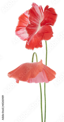 poppy - 65263409