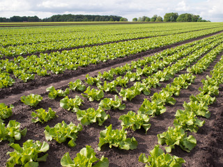 Gemüseanbau - Salatpflanzen - Schnittsalat auf dem Feld