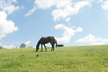Horses on pasture near Lednice, Czech republic