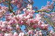 Magnolien - Magnolia