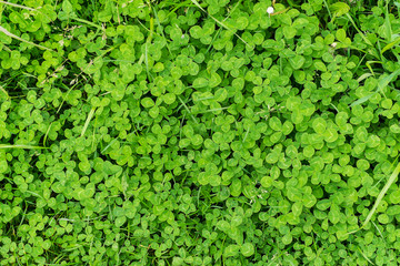 close up of green clover and grass