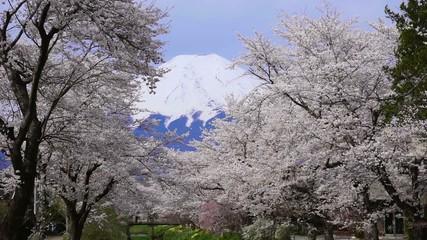 忍野の桜と富士山