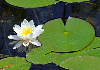 beautiful white water lily in the pond with the leaves