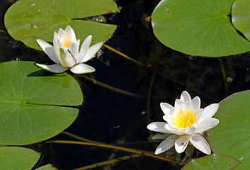 two white water lily flowers in the middle of the pond